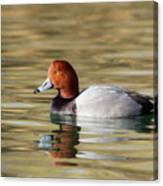 Redhead On Sunny Pond Canvas Print