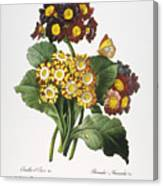 Redoute: Auricula, 1833 Canvas Print