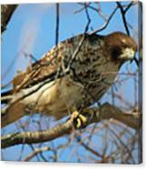 Redtail Among Branches Canvas Print