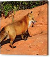 Redtailed Fox Canvas Print