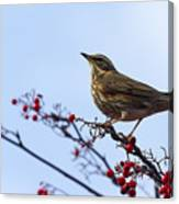 Redwing  - 2 Canvas Print
