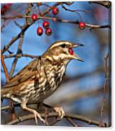 Redwing With Berry Canvas Print