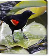 Redwinged Black Bird On A Lily Pad Canvas Print