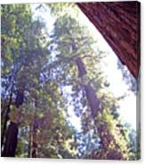 Redwood Forest 1 Canvas Print