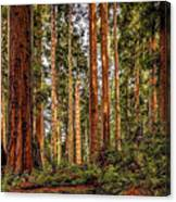 Redwood Forest Landscape Canvas Print