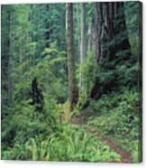 Redwood Park Trail Canvas Print