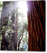 Redwood Sunlight Canvas Print