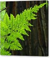 Redwood Tree Forest Ferns Art Prints Giclee Baslee Troutman Canvas Print