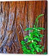 Redwood Tree Trunk At Pilgrim Place In Claremont-california   Canvas Print