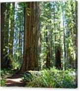 Redwood Trees Forest California Redwoods Baslee Canvas Print