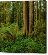 Redwoods And Ferns Canvas Print