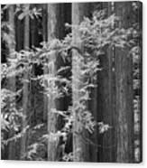 Redwoods Ir 0625 Canvas Print