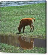 Reflection Buffalo Calf Canvas Print