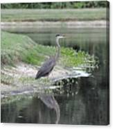 Reflections Of A Blue Heron Canvas Print