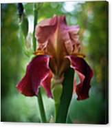 Regal Iris Canvas Print