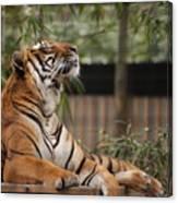 Regal Tiger Canvas Print