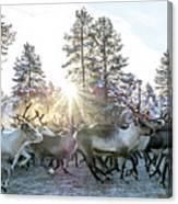 Reindeer On Autumn Sun Canvas Print