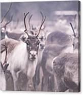 Reindeers Canvas Print