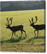 Reindeers On Swedish Fjeld Canvas Print