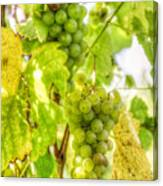 Riesling Harvest IIi Canvas Print