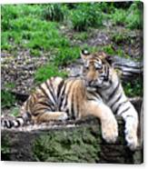 Relaxed Tiger Cub Canvas Print