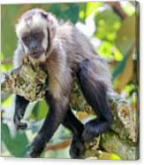 Relaxing Capuchin Monkey Canvas Print