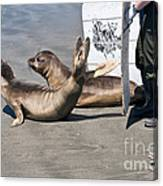 Releasing Elephant Seals Canvas Print