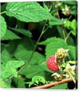 Remembering One Sweet Rasberry Canvas Print