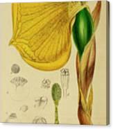 Remusatia Vivipara Xxx Canvas Print