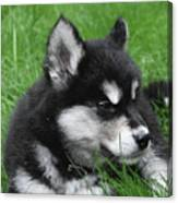 Resting Alusky Puppy Laying In Green Grass Canvas Print