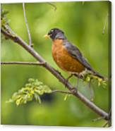 Resting American Robin Canvas Print