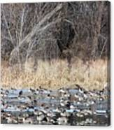 Resting Canadian Geese Canvas Print