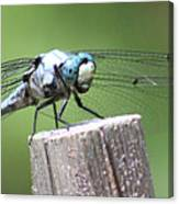 Resting Dragonfly Canvas Print