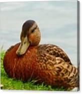 Resting Duck Canvas Print