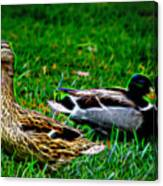 Resting Ducks Canvas Print