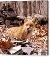 Resting Fox Canvas Print