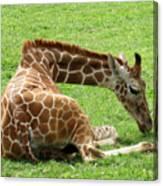 Resting Giraffe Canvas Print