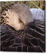 Resting Goose Canvas Print