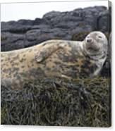 Resting Gray Seal On Seaweed Canvas Print