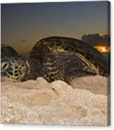 Resting Green Sea Turtle Canvas Print