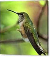 Resting Hummingbird Canvas Print