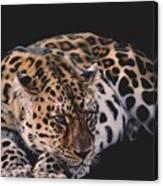 Resting Leopard  Canvas Print