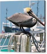 Resting Pelican Canvas Print
