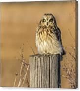 Resting Short Eared Owl Canvas Print