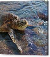 Resting Turtle Canvas Print