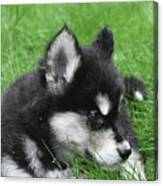 Resting Two Month Old Alusky Puppy Dog In Grass Canvas Print