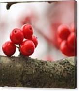 Resting Winter Berries  Canvas Print