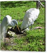 Resting Wood Stork And White Egret Canvas Print