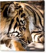 Resting Yet Watchful Tiger Canvas Print