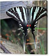 Resting Zebra Swallowtail Butterfly Canvas Print